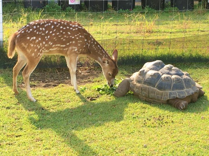リクガメと鹿